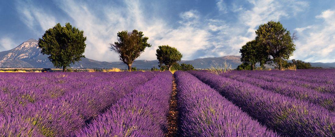 lila lavender fält med berg i bakgrunden och blå himmel på en resa till Frankrike