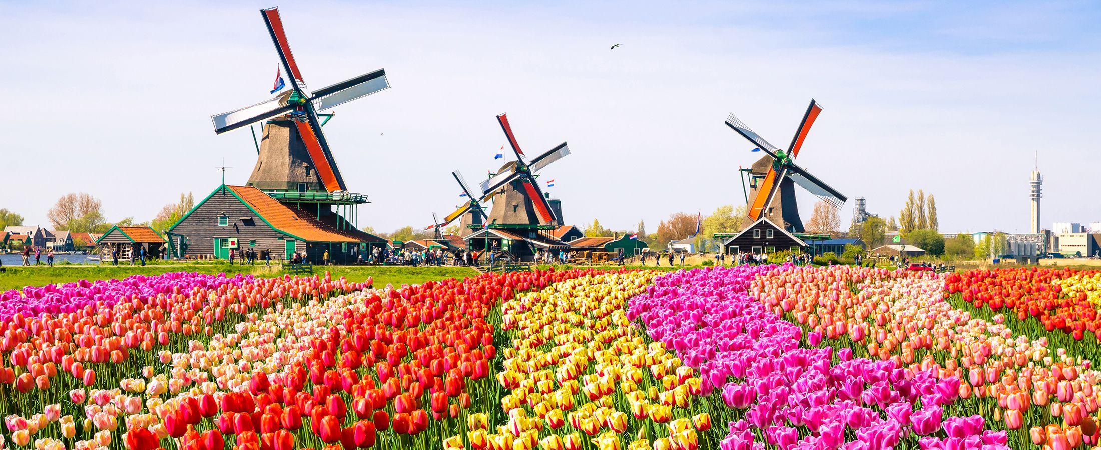 Väderkvarnar på ett tulpanfält i Holland