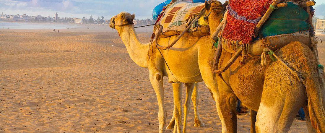Kamel i öknen med packning i solljus