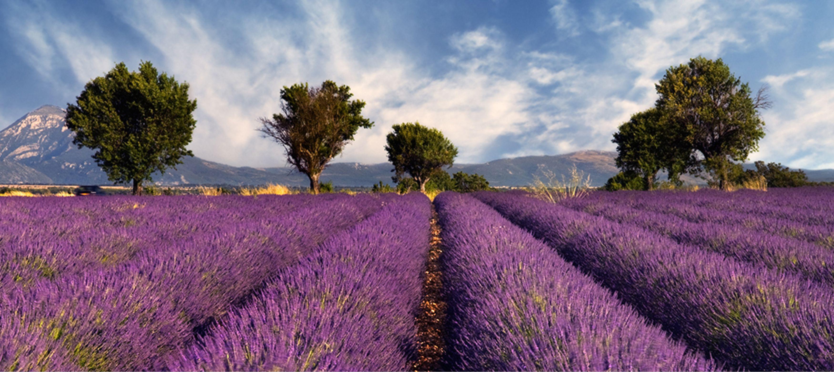 lila blomfält och träd i naturvackra Frankrike