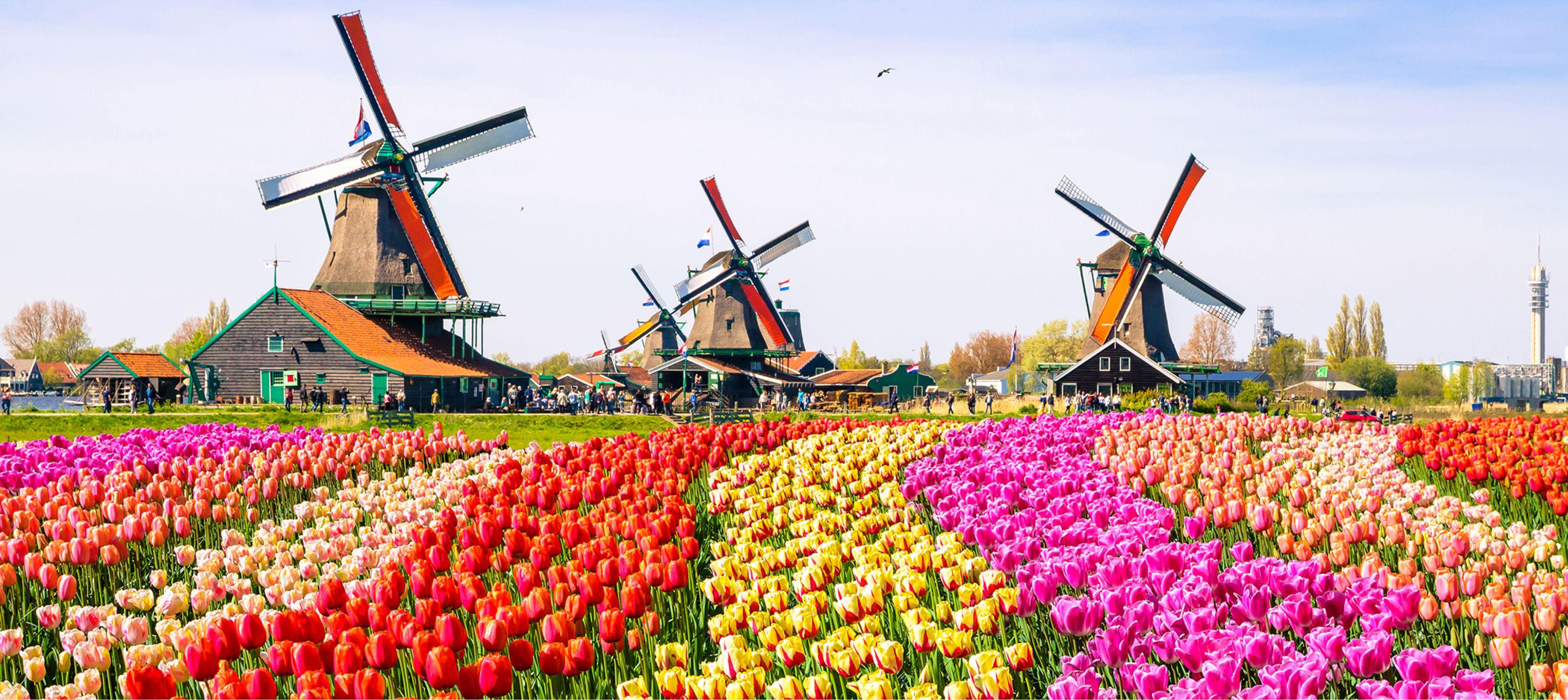 tulpanfält i färger och väderkvarnar, landskap i holland