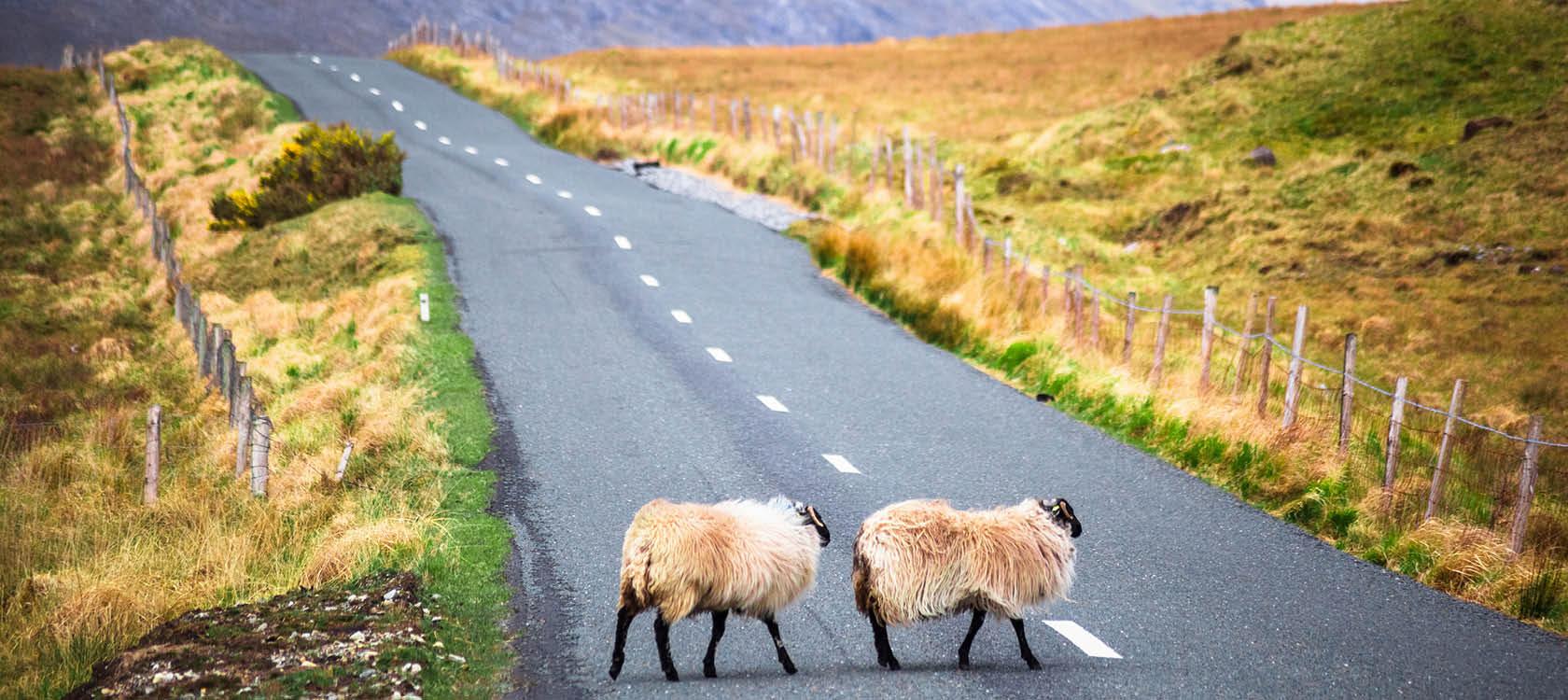 Får på landsväg på Irland.