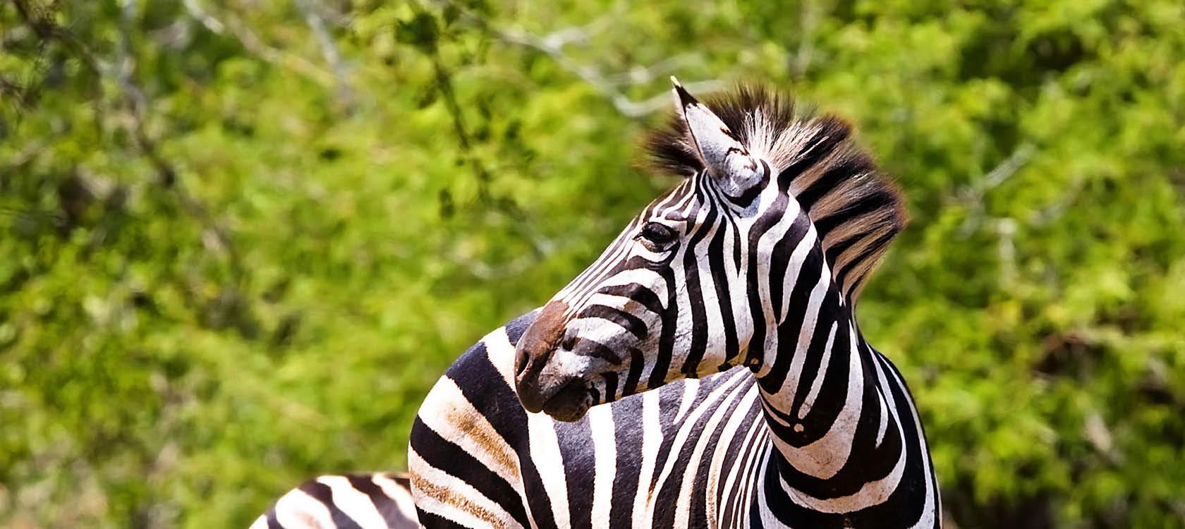 Vilda zebror på savannen i Sydafrika.