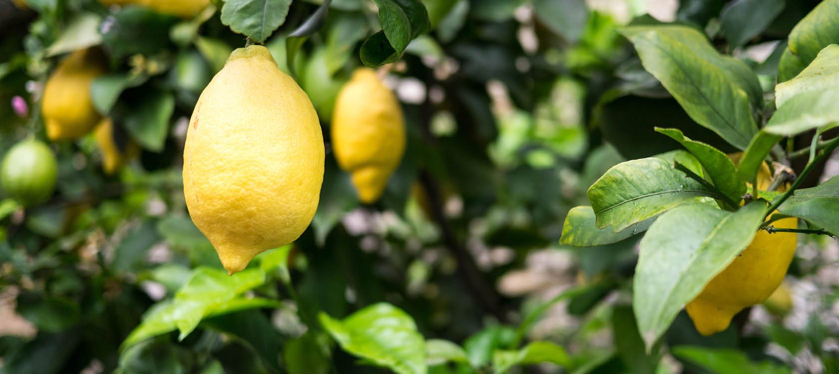 citronträd i sorrento på resa till italien