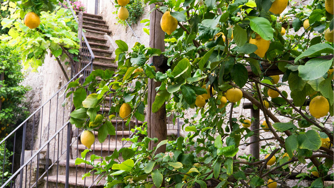 Frodiga citronodlingar vid en trappa i Sorrento