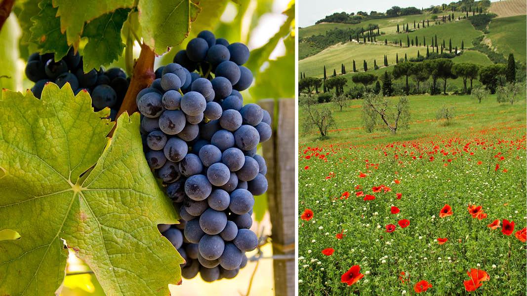 Vindruvor och vallmoängar i det toskanska landskapet