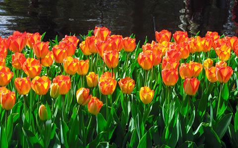 Blomstrande vårkryssning i Holland och Belgien