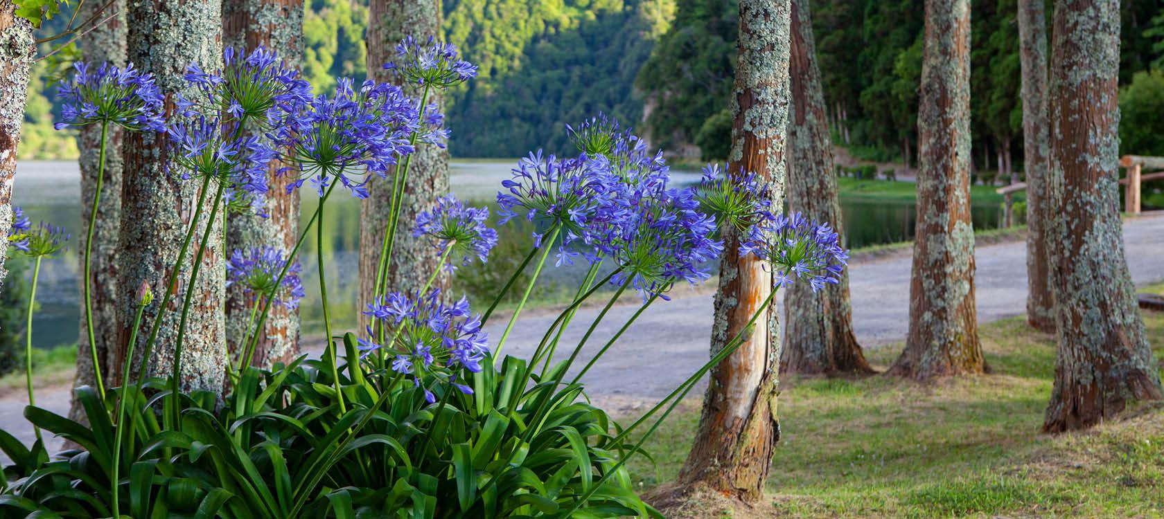 Blommor på Azorerna, Portugal.