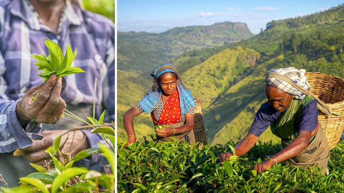 Två kvinnor plockar teblad på Sri Lanka i Asien.